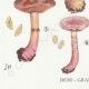 DETAILS 03   Mycology - Mushroom - Cortinarius Pl.107