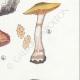DETAILS 05   Mycology - Mushroom - Cortinarius Pl.107