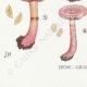 DETAILS 07   Mycology - Mushroom - Cortinarius Pl.107