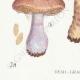 DÉTAILS 03 | Mycologie - Champignon - Cortinarius Pl.108