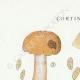 DETAILS 01 | Mycology - Mushroom - Cortinarius Pl.109