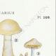 DETAILS 04 | Mycology - Mushroom - Cortinarius Pl.109