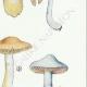 DETAILS 05 | Mycology - Mushroom - Cortinarius Pl.109
