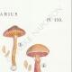 DETAILS 04 | Mycology - Mushroom - Cortinarius Pl.110