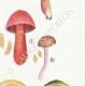 DETAILS 05 | Mycology - Mushroom - Cortinarius Pl.110