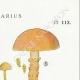 DETAILS 04 | Mycology - Mushroom - Cortinarius Pl.113