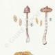DÉTAILS 02 | Mycologie - Champignon - Cortinarius Pl.114