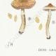 DÉTAILS 03 | Mycologie - Champignon - Cortinarius Pl.114