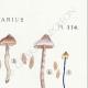 DÉTAILS 04 | Mycologie - Champignon - Cortinarius Pl.114