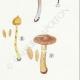 DÉTAILS 05 | Mycologie - Champignon - Cortinarius Pl.114