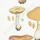 DÉTAILS 02 | Mycologie - Champignon - Cortinarius Pl.115