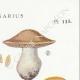 DÉTAILS 04 | Mycologie - Champignon - Cortinarius Pl.115