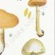 DÉTAILS 05 | Mycologie - Champignon - Cortinarius Pl.115