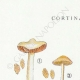 DETAILS 01 | Mycology - Mushroom - Cortinarius Pl.117