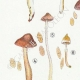 DETAILS 02 | Mycology - Mushroom - Cortinarius Pl.117