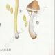DETAILS 06 | Mycology - Mushroom - Cortinarius Pl.117