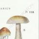 DETAILS 04   Mycology - Mushroom - Cortinarius Pl.118