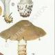 DETAILS 05   Mycology - Mushroom - Cortinarius Pl.118