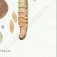 DETAILS 06   Mycology - Mushroom - Cortinarius Pl.118