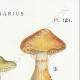 DETAILS 04 | Mycology - Mushroom - Cortinarius Pl.121