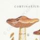 DETAILS 01 | Mycology - Mushroom - Cortinarius - Locellina Pl.122