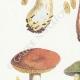 DETAILS 02 | Mycology - Mushroom - Cortinarius - Locellina Pl.122