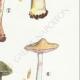 DETAILS 05 | Mycology - Mushroom - Cortinarius - Locellina Pl.122