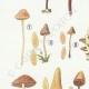 DETAILS 02   Mycology - Mushroom - Galera Pl.123