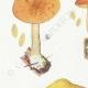DÉTAILS 02 | Mycologie - Champignon - Flammula Pl.125