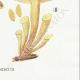 DÉTAILS 06 | Mycologie - Champignon - Flammula Pl.125