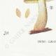 DÉTAILS 07 | Mycologie - Champignon - Flammula Pl.125