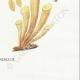DÉTAILS 08 | Mycologie - Champignon - Flammula Pl.125