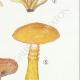 DÉTAILS 05   Mycologie - Champignon - Flammula Pl.126