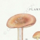 DETAILS 01 | Mycology - Mushroom - Flammula Pl.127