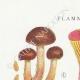 DÉTAILS 01 | Mycologie - Champignon - Flammula Pl.128