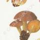 DÉTAILS 02 | Mycologie - Champignon - Flammula Pl.128