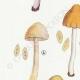 DÉTAILS 02 | Mycologie - Champignon - Pluteolus - Bolbitius Pl.129