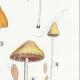 DÉTAILS 05 | Mycologie - Champignon - Pluteolus - Bolbitius Pl.129