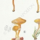 DÉTAILS 02 | Mycologie - Champignon - Tubaria - Crepidotus Pl.130