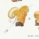 DÉTAILS 03 | Mycologie - Champignon - Tubaria - Crepidotus Pl.130