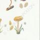 DÉTAILS 05 | Mycologie - Champignon - Tubaria - Crepidotus Pl.130