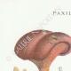 DETAILS 01 | Mycology - Mushroom - Paxillus Pl.132
