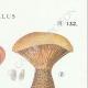DETAILS 04 | Mycology - Mushroom - Paxillus Pl.132