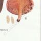 DETAILS 08 | Mycology - Mushroom - Paxillus Pl.132