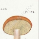 DETAILS 04 | Mycology - Mushroom - Paxillus Pl.133