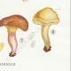 DETAILS 06 | Mycology - Mushroom - Paxillus Pl.133