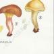 DETAILS 08 | Mycology - Mushroom - Paxillus Pl.133