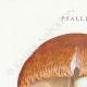 DÉTAILS 01 | Mycologie - Champignon - Psalliota Pl.134