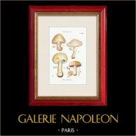 Mycologie - Champignon - Psalliota Pl.135
