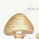 DETALLES 01 | Micología - Seta - Psalliota Pl.135
